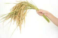 Paddy rice, rice grain yield Royalty Free Stock Photo