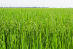 Paddy rice , rice plant in field and drops of rain water Stock Photo