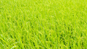 Paddy rice , rice plant in field and drops of rain water Royalty Free Stock Images
