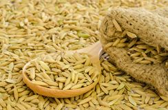 Paddy rice seed. Stock Photography