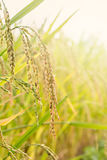 Paddy rice seed Royalty Free Stock Images