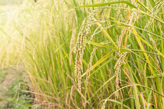 Paddy rice seed Stock Photography