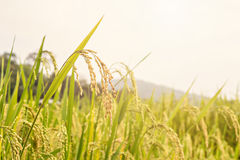 Paddy rice seed Royalty Free Stock Photos