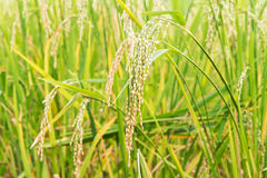 Paddy rice seed Stock Photos