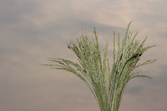 Paddy Rice Seed Stock Images