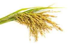 Paddy rice seed. Royalty Free Stock Photo