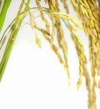 Paddy rice seed. Stock Photos