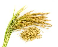 Paddy rice seed. Stock Photos
