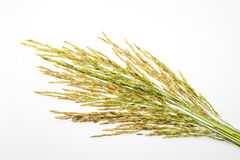 Paddy rice seed on white background Royalty Free Stock Photography
