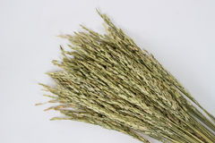 Paddy Rice Seed Royalty Free Stock Photography