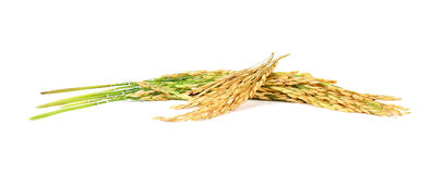 Paddy rice seed white background Stock Images