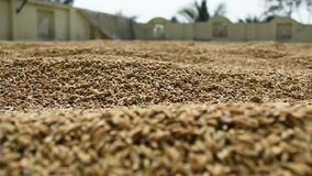 Paddy rice seeds captured closely ,which is kept for drying in open area.