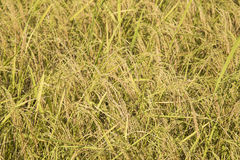 Paddy rice Stock Photography
