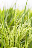 Paddy rice stalk Royalty Free Stock Image