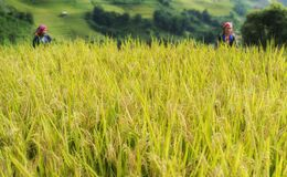 Paddy rice terraces in countryside area of Mu Cang Chai, Yen Bai, mountain hills valley in Vietnam.
