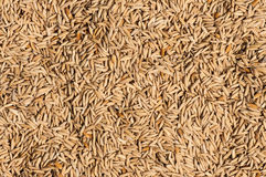 Paddy rice texture. Paddy rice drying on the sun Stock Photo