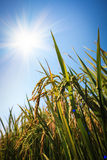Paddy rice under the sun Royalty Free Stock Photos