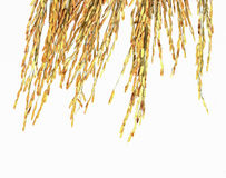 Paddy rice on white Stock Photography