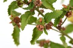 Paddy`s lucerne, Queensland hemp, Arrow Left Side, Common Sida, Cuba Jute ,Sida rhombifolia L. Stock Photography
