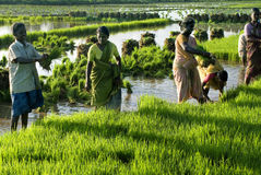 Paddy sapling- Agriculture Stock Photography