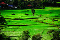 Paddy. Seedlings of rice growing in paddy fields with water Stock Photos