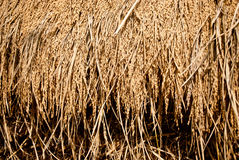 Paddy seeds background Royalty Free Stock Photography