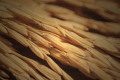 Paddy. In selective the depth of field Royalty Free Stock Image