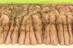 Paddy soil erosion Stock Image