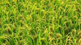 Paddy on stalk in field swaying by wind stock footage