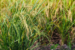 Paddy stalks in field Stock Photography