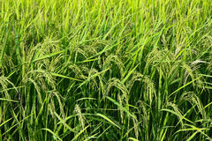 Paddy stalks in field - series 2 Royalty Free Stock Image