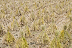 Paddy straw on farmland Royalty Free Stock Photography
