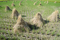Paddy straw on farmland Royalty Free Stock Photo