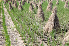 Paddy straw on farmland Royalty Free Stock Image