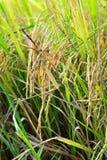 Paddy sur l'usine de riz Images stock