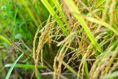 Paddy sur l'usine de riz Photos libres de droits