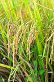 Paddy sur l'usine de riz Photographie stock libre de droits
