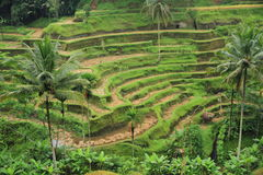 Paddy terrace Royalty Free Stock Image
