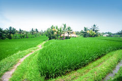 Paddy terrace in daylight of Bali Stock Images