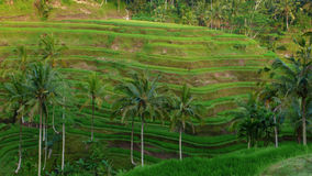 Paddy terrace field Stock Photography