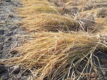 Paddy before threshing stock image