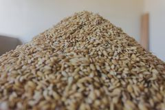 Paddy or unhusked rice on top view royalty free stock image