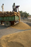 Paddy unloading Stock Images