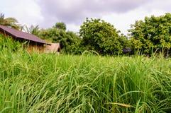 Paddy vert classé Image stock