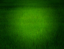 Paddy. Water and Rice is importance For Life  Paddy Field in Stock Photos