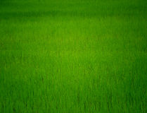 Paddy. Water and Rice is importance For Life  Paddy Field in Stock Image