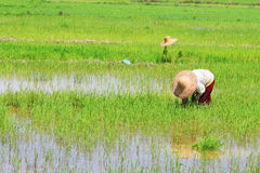 Paddy work. At asian country Stock Photography