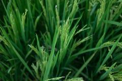 Paddyanlagen Stockfoto