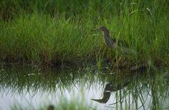 Paddybird en un campo verde Imagen de archivo libre de regalías