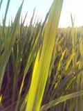 Paddyblätter stockbilder